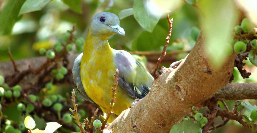 Yellow-footed green pigeon juvenile on our fig tree.