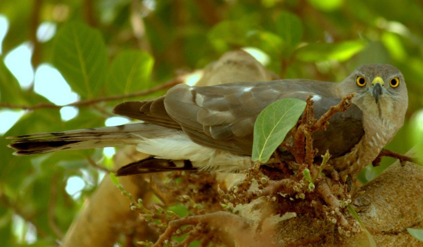 An adult female shikra resting on a hot afternoon.