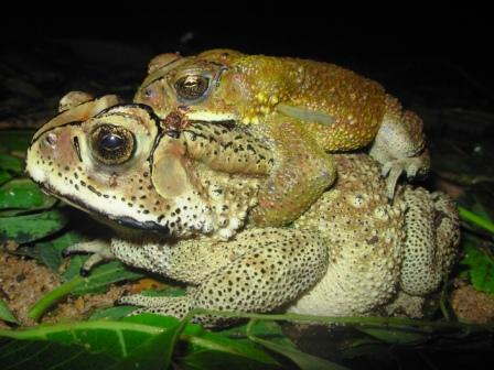 Common Indian toads in amplexus. As a kid I got in to the habit of checking my shoes before wearing only because of a fat female toad at home.